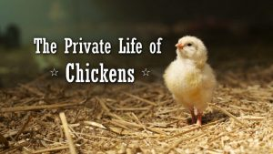 The Private Life of Chickens