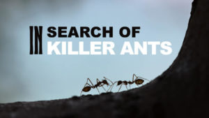 In Search of Killer Ants